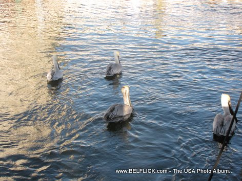 Brown Pelicans Ft Lauderdale Florida